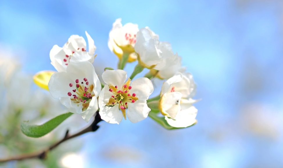 spring apple-blossoms-1368187_1280